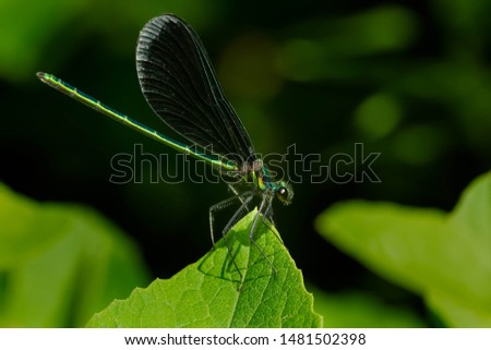 A male Ebony Jewelwing Damselfly is clinging to the tip of a green leaf. Also known as a Black-winged Damselfly. Taylor Creek Park, Toronto, Ontario, Canada. #1481502398