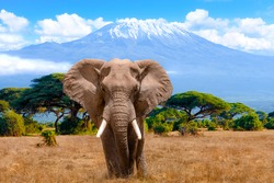 A male elephant in front of Mount Kilimanjaro in Kenya National Park, Africa