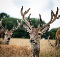 A male elk surrounded by others in a field