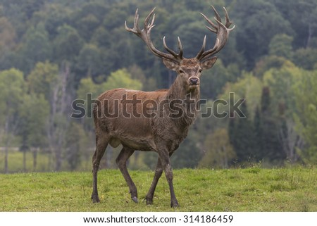 A male elk with large horns