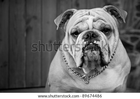 A male English Bulldog guards the house of its owner.