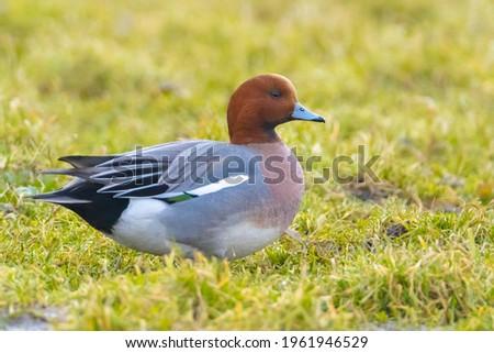 A male Eurasian wigeon Mareca penelope foraging n water Foto stock ©