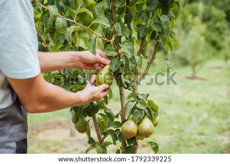 A male farmer picks pears in the garden. Happy farmer picks ripe pears from the tree Photo stock ©