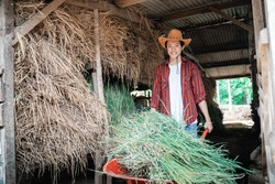 a male farmer works using a handcart carrying green hay in a cow farm stable