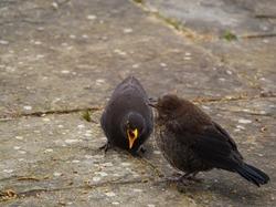 a male father blackbird (turdus merula) chaperones his fledgling blackbird offspring