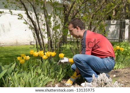 A male gardener taking care of his yellow tulips