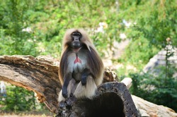 A male gelada sits on a trunk in a enclosure at the Zlín Zoo