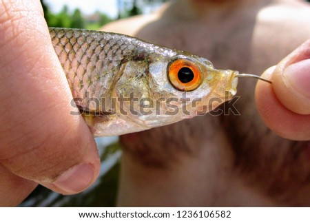 A male hand holding a fish roach with a hook in a mouth. The roach (Rutilus rutilus), also known as the common roach. Fresh and brackish water fish of the Cyprinidae family. Close up of caught roach