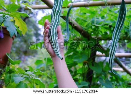 A male hand holding a raw snake luffa on a ornamental climbing plant for a city plantation idea  #1151782814