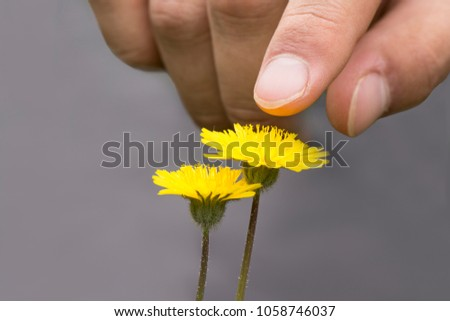 Stock Photo A male hand touching or pointing dandelion flowers