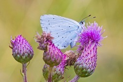 A male Holly Blue butterfly (Celastrina argiolus)  perched on creeping thistle in a London nature reserve in July.