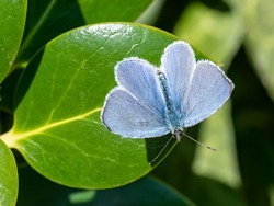 A male holly blue butterfly (Celastrina argiolus) seen on a holly leaf in April