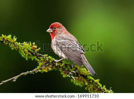 A male house finch perches of a moss covered branch while waiting his turn at the feeder
