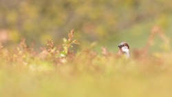 A male house sparrow hiding in the top of a soft focus hedgerow against a soft focus green background