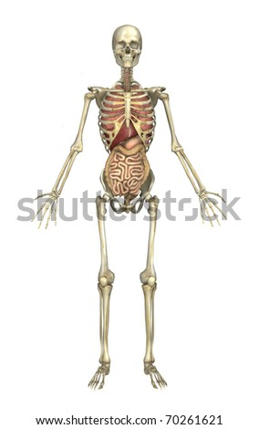 A male human skeleton with internal organs - 3D render.