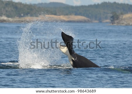 A male killer whale slaps his tail.