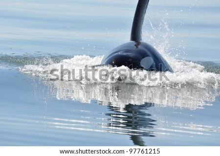 A male killer whale surfaces in the calm waters of the Salish Sea.