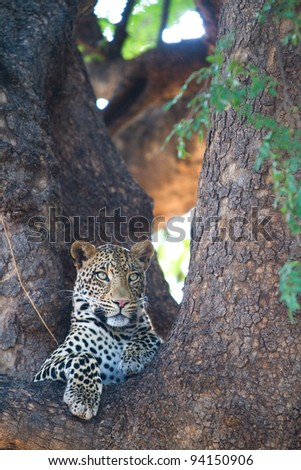 A male leopard resting in the fork of a large tree