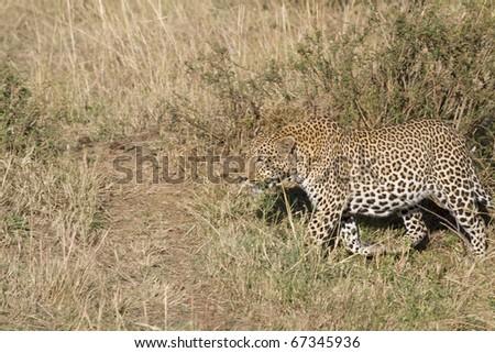 A male leopard walks through the bush in the Masai Mara.