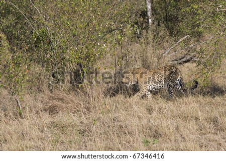 A male leopard walks through the bush in the Masai Mara.