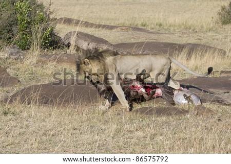 A male lion drags a fresh wildebeest kill in the Masai Mara.