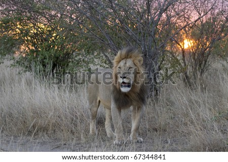 A male lion during sunset in the Masai Mara in Kenya.