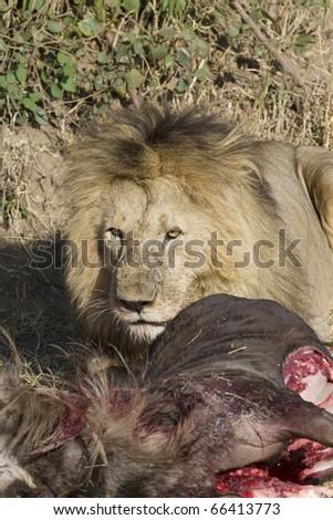 A male lion eats a fresh wildebeest kill in the Masai Mara.