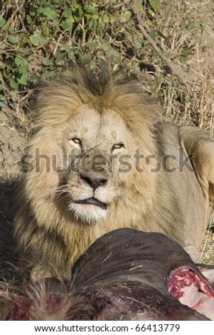 A male lion eats a fresh wildebeest kill in the Masai Mara.