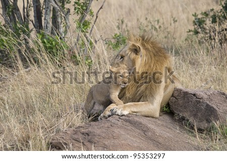 A male lion & his little one in the Masai Mara.