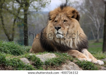 A male lion in a nature reserve resting on a hilltop attentive of something in the distance #400736152