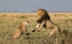 A male lion is rebuffed by a lioness in the Masai Mara, Kenya