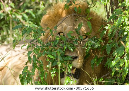 a male lion looking straight at the camera hidden in bushes in Kenya