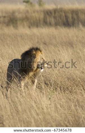 A male lion looks for his pride in the Masai Mara in Kenya.