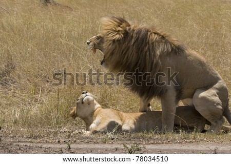 A male lion mates with a female lioness on the plains of the Masai Mara.