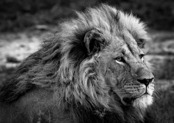 A male lion (Panthera leo) in Botswana.