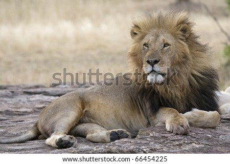 A male lion rests upon some rocks in the Masai Mara. - stock photo