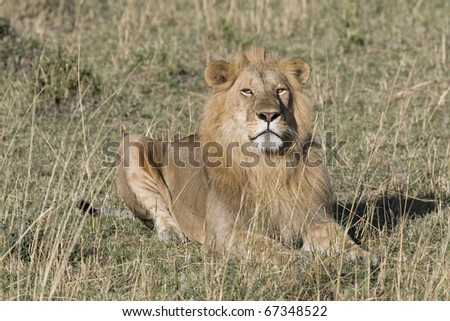 A male lion sits on the plains of the Masai Mara in Kenya. - stock photo