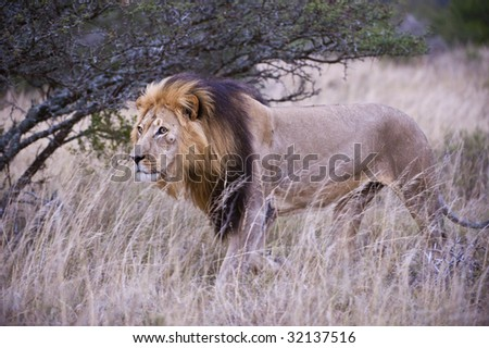 A male lion stalks buffalo in the long grass