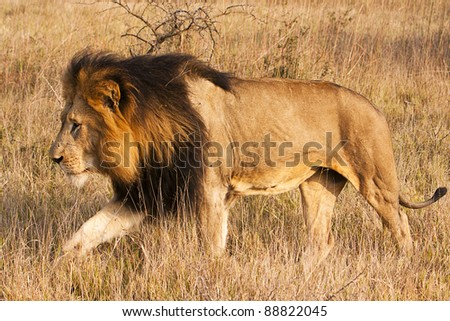 A male lion, with a full, dark mane, is moving through grass. The lion (panthera leo) typically inhabits savanna and grassland, although they may take to bush and forest.