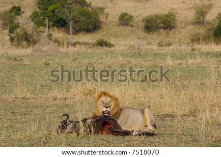 A male lion with his wildebeest kill