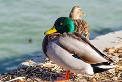 A male mallard duck (Anas platyrhynchos) sitting on the shore outside the water, Central Park, Fremont