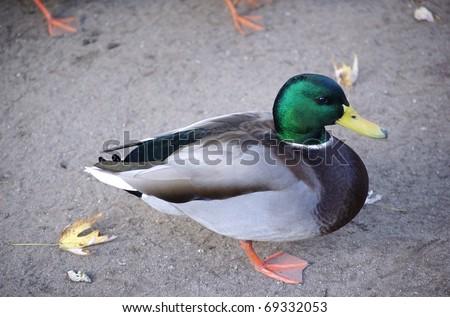 A male mallard duck standing on sand