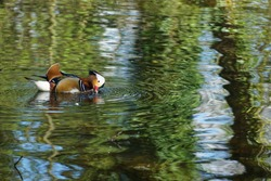 A male mandarin duck (Aix galericulata) swimming on the duck pond on Wandsworth Common in South West London, England.  Image has copy space.