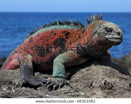A male Marine Iguana (Amblyrhynchus cristatus) in the Galapagos Islands (Floreana Island)