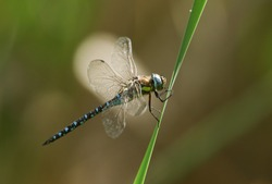 A male Migrant Hawker Dragonfly, Aeshna mixta, perching on a reed at the edge of a lake in the UK.