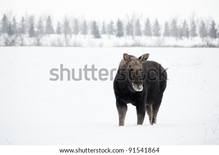a male moose stands knee deep in snow after losing his antlers for the season