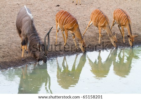 A male nyala and three females drinking