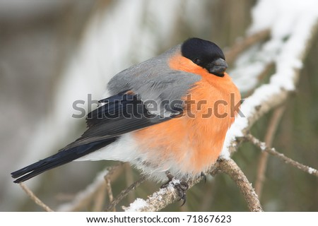 A male of bullfinch resting on a branch, in a winter scene (Pyrrhula pyrrhula).
