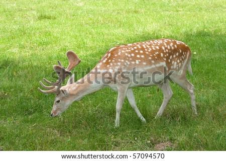A male of fallow deer ( Dama dama ) eating grass