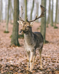 A male of fallow deer with grate antlers in the autumn oak forest.